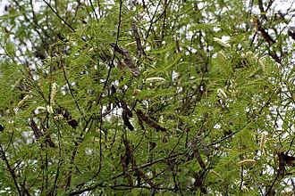 Senegalia catechu - Senegalia catechu pods