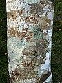 Kigelia africana, bas en korsmosse, Krantzkloof NR.jpg