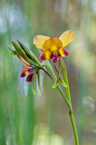 Diuris corymbosa - D. corymbosa growing in Kings Park, Perth