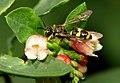 Kleine Wegwespe (?) + Gewöhnliche Schneebeere (Symphoricarpos albus) (20158156112).jpg