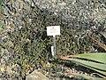 Kleinia radicans - Botanischer Garten München-Nymphenburg - DSC08137.JPG