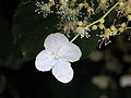 Klimhortensia of Hydrangea anomala petiolaris 01.JPG