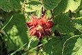 Kluse - Rubus phoenicolasius - Japanische Weinbeere 09 ies.jpg