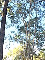 Koala in Coombabah Lake Conservation Park.jpg