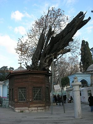 "Koca Mustafa Pasha Mosque - The dead Cypress where the chain once used as ""lie detector"" (now hidden in the wooden shelter) still hangs. The mosque lies on the right, while in foreground stands a column-shaped fountain. Behind the tree is visible the dome of the türbe of Sünbül Efendi."