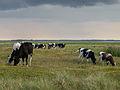 Koeien in de Kobbeduinen op Schiermonnikoog 3.jpg