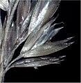 Koeleria pyramidata flower (11).jpg