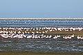 Kolonie plameňáků ve Walvis Bay - panoramio.jpg