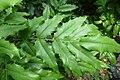 Korina 2014-05-11 Mahonia aquifolium.jpg