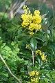 Korina 2016-04-21 Mahonia aquifolium 5.jpg