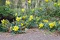 Korina 2017-04-08 Mahonia aquifolium.jpg