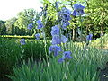 Kosaciec bialy Iris palladia palladia.jpg