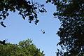 Kranichpaar (Grus grus) im Naturschutzgebiet Trunnenmoor IMG 2643.jpg