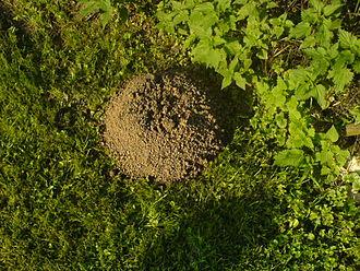 Talpidae - Image: Krticin rad