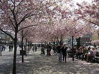 Kungsträdgården - Kungsträdgården, cherry blossom