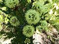 Kunzea montana flowers.jpg
