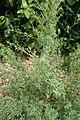 Kunzea triregensis kz1.jpg