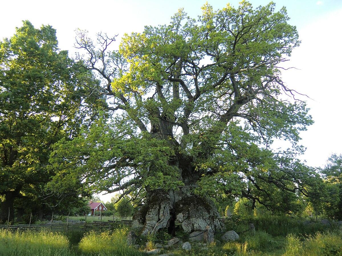 världens största träd wikipedia