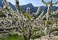 La Vall de Gallinera, cirerer florit.JPG