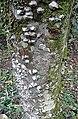 Lacmella lactescens (14085006224).jpg