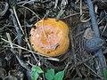 Lactarius agglutinatus 702988.jpg