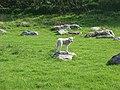 Lamb and sarsens, Piggle Dean - geograph.org.uk - 411909.jpg