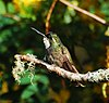 Lampornis castaneoventris-003