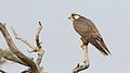 Lanner falcon, Falco biarmicus, at Kgalagadi Transfrontier Park, Northern Cape, South Africa (34415577232).jpg