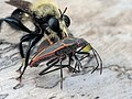 Laphria flavicollis, a species of robber fly, eating a boxelder bug.jpg