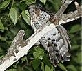 Large Hawk-Cuckoo 2.jpg
