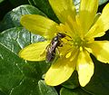 Lasioglossum sp. - Flickr - gailhampshire (4).jpg