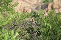 Laughing Dove, India 1.jpg