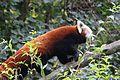 Le Pal - 2016.10.23 - Pandas roux 6.jpg