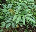 Leea indica leaves.jpg