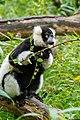 Lemur (24168875538).jpg