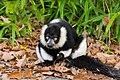 Lemur (36790292974).jpg
