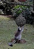 Lemur CIncin.jpg