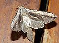 Leopard Goat Moth (Azygophleps inclusa) (12885761044).jpg