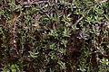 Lepidagathis keralensis 7510.jpg