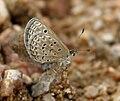 Lesser Grass Blue (Zizina otis) trying to mate in Hyderabad, AP W IMG 8023.jpg
