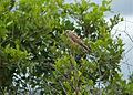 Lesser Kestrel (Falco naumanni) female (12819181393).jpg