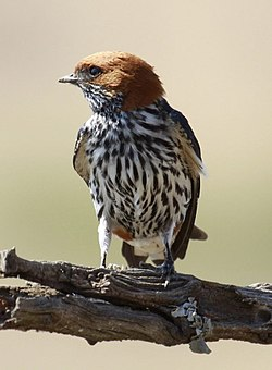 Lesser Striped Swallow, Cecropis abyssinica at Pilanesberg National Park, South Africa (10536463865).jpg