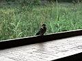 Lesser striped swallow (393960369).jpg