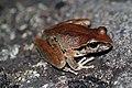 Lesueurs Tree Frog (Litoria lesueuri) (8397014107).jpg