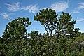 Leucospermum conocarpodendron subsp. viridum 20D 4609.jpg