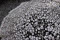 Lichen (40596145961).jpg