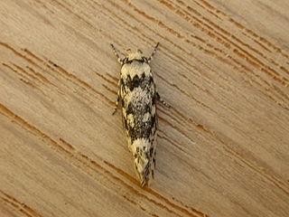 <i>Lichenaula lichenea</i> species of insect