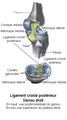 Ligament croisé postérieur.png