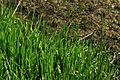 Lilaeopsisoccidentalis.jpg