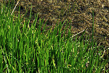 Lilaeopsisoccidentalis.jpg  Lilaeopsis - Chi Lilaeopsis 220px Lilaeopsisoccidentalis